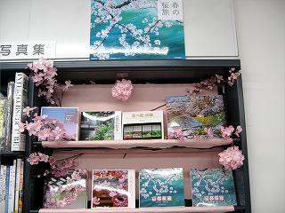 京都さくら満開